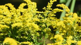 Yellow flowers in the sun with bees and other insects. Flying arround in summer in garden stock video