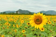 Yellow flowers. Sun flower yellow flowers royalty free stock image