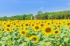 Yellow flowers. Sun flower yellow flowers stock image