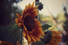 Yellow flowers, sunflower Stock Photos