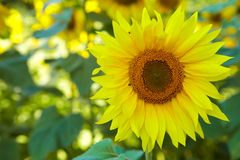 Yellow flowers of sunflower Royalty Free Stock Images