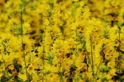 Yellow flowers in the sunlight Royalty Free Stock Photography