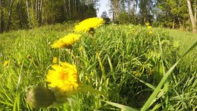 Yellow flowers on sunny day gopro camera movement. Wide GoPro movement video: Yellow flowers, green field and forest on sunny day and green are stock video