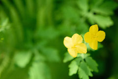 Yellow flowers surrounded by juicy green grass. In the sunny summer forest Stock Photos