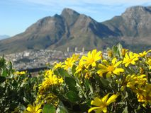 Yellow flowers at Table Mountain,  Capetown, South Africa Royalty Free Stock Image
