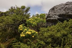 Yellow Flowers on the Table mountain near Cape Town stock photos