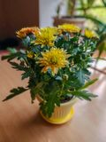Yellow flowers on the table. Yellow flowers in a pot on the table stock image