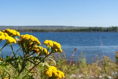 Yellow flowers of tansy on background of river and blue sky. Close-up yellow flowers of tansy on background of river and blue sky stock image
