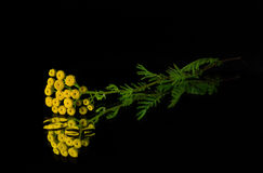Yellow flowers of tansy. On a dark background royalty free stock photography