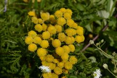 Yellow flowers of tansy ordinary. Closeup royalty free stock photography
