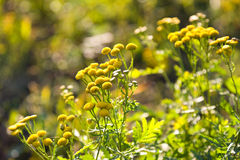 Yellow flowers of a tansy. (Tanacetum) against the wood stock photo