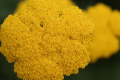 Yellow Flowers Texture Stock Photography