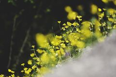 Yellow Flowers in Tilt Shift Lens Photography Royalty Free Stock Photo