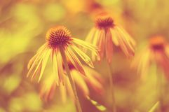 Yellow flowers on a tinted yellow background. Selective soft focus Royalty Free Stock Images