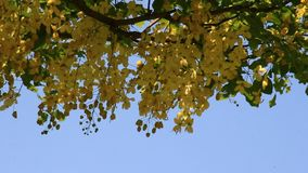 Yellow flowers on the tree. The yellow flowers on the tree stock footage