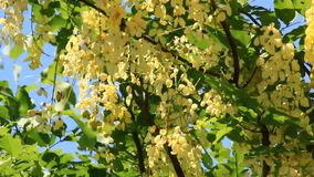 Yellow flowers on the tree. The yellow flowers on the tree stock video footage