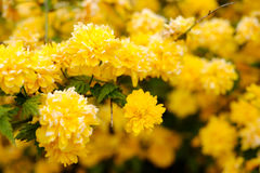 Yellow flowers on a tree Royalty Free Stock Image