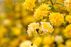 Yellow flowers on a tree Royalty Free Stock Images