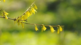 Yellow flowers on tree branch on a green background. With a natural sound stock video