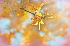 Yellow flowers on tree lit by sunlight Royalty Free Stock Photos