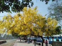 Yellow flowers tree Stock Photo