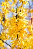 Yellow flowers on tree - springtime Royalty Free Stock Photos