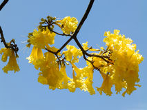 Yellow flowers on a tree. In Sri Lanka Stock Images