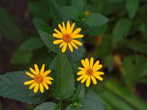 Yellow flowers triangle in garden. Between green leaves stock image