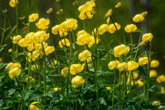 Yellow flowers Trollius europaeus grass Stock Photography