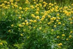 Yellow flowers Trollius europaeus grass Royalty Free Stock Photography