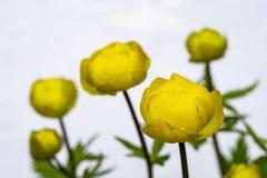 Yellow flowers Trollius europaeus, on a white background. Macro royalty free stock images