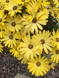 Yellow flowers in a tub. Osteospernum in a tub in a garden Stock Images