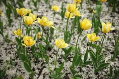 Yellow tulips and white cherry petals royalty free stock image