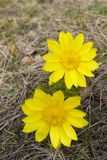 Yellow flowers. Two yellow flowers  on dry grass background Royalty Free Stock Image