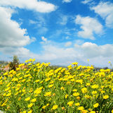 Yellow flowers under a blue sky. With clouds Royalty Free Stock Images