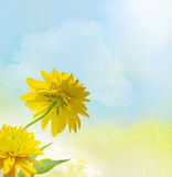 Yellow flowers under blue sky. Rudbeckia under blue sky. Yellow Flower background Stock Image