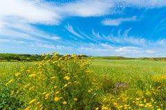 Yellow flowers under a blue sky in springtime. Sardinia, Italy Stock Photo