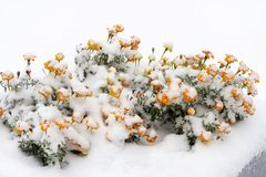 Yellow flowers under the first snow. The beginning of winter, snowfall royalty free stock photo