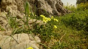 Yellow flowers under the mighty crown of an ancient olive tree, green grass in the wind. Ancient Olive Trees, a collection of landscapes in an old olive garden stock video footage