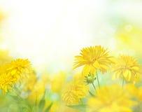 Yellow flowers under the Sun. Rudbeckia. Royalty Free Stock Photos