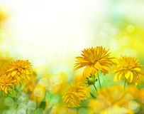 Yellow flowers under the Sun. Rudbeckia. Royalty Free Stock Image