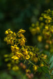Yellow flowers in upstream. Flowers beside of the river of Rajjaprabha Dam in Kho Sok national park Royalty Free Stock Image