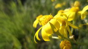 Yellow flowers. Yellow, flowers, vacation, flower, field, garden, nature, summer, spring, bokeh, macro, village royalty free stock photos