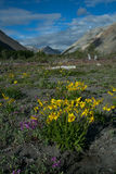 Yellow flowers in the valley of a mountain river. Royalty Free Stock Photography
