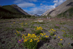 Yellow flowers in the valley of a mountain river. Stock Image