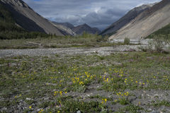 Yellow flowers in the valley of a mountain river. Stock Photos