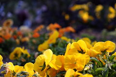 Yellow Flowers. With various flowers blurred in the background Royalty Free Stock Photo