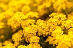 Yellow Flowers. In Vasile Fati Botanical Garden Jibou, Salaj county, Romania Royalty Free Stock Photography