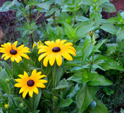 Black Eye Susan Flowers Stock Images