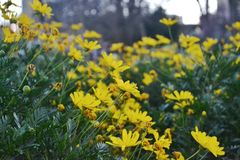 Yellow flowers. View of yellow spring flowers Stock Photography